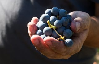 wine-harvest-feature-157